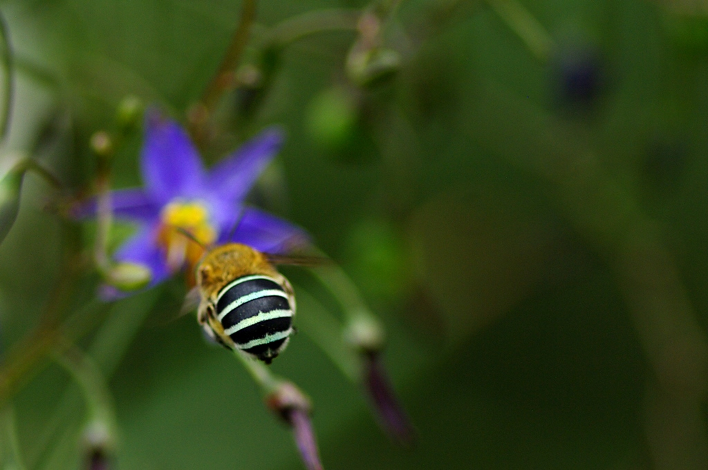 Blue-banded Bee at Royal Park. Over 560 species of insects are found within the City of Melbourne. They provide important ecosystem services, from pollination and pest control to improving soil fertility (Photo Credit: Luis Mata).