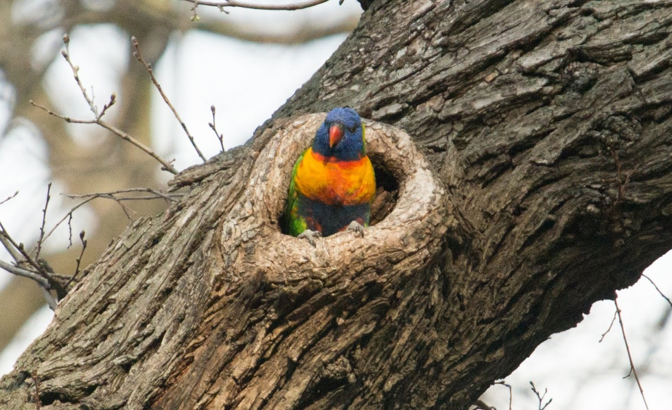 Rainbow Lorikeet observed in a hollow of an Elm tree during a citizen science program titled HollowBlitz', which examined what birds were nesting in tree hollows in our municipality (Photo Credit: City of Melbourne).